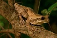 Mexican Treefrog (Smilisca baudinii) - Costa Rica