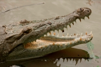 American Crocodile - Crocodylus acutus - Costa Rica