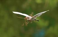 Cattle Egret (Bubulcus ibis) -Costa Rica - At nesting colony -tr