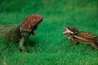 Green Iguana - (Iguana iguana) and Common Basilisk - (Basiliscus