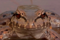 Smoky Jungle Frog (Leptodactylus pentadactylus) Central American