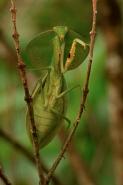 Hooded mantis (Choerododis rhombifolia) -  Costa Rica