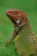 Green Iguana - (Iguana iguana) - Costa Rica - Tropical rainfores
