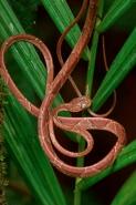 Blunthead Tree Snake - (Imantodes cenchoa) - Costa Rica
