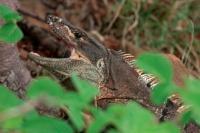 Spiny-tailed Iguana , (Ctenosaura similis) , Costa Rica, eating