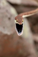 Brown Vine Snake (Oxybelis aeneus), Costa Rica, rear-fanged, mil