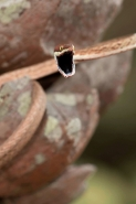 Brown Vine Snake (Oxybelis aeneus), Costa Rica, rear-fanged, mil