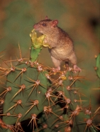 Black Rat (Rattus rattus) - Antigua-West Indies