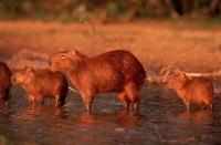 Capybara (Hydrochaeris hydrochaeris) - Venezuela