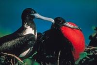 Magnificent Frigatebirds (Fregata magnificens) - Antigua West In