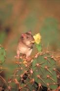 Black Rat (Rattus rattus) - Island of Redonda-Antigua and Barbud