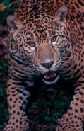 Jaguar (Felis onca) - Southern Mexico