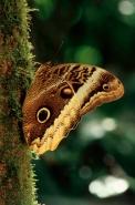 Owl Butterfly Portrait (Caligo atreus) - Costa Rica
