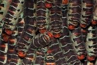 Giant Silk Worm Caterpillars - (Arsenura armida) - Costa Rica