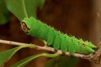 Saturniid moth caterpillar - (Copaxa moinieri) - Costa Rica