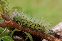 Saturiid moth caterpillar - (Automeris metzli) - Costa Rica