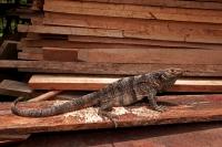 Spiny-tailed Iguana - (Ctenosaura similis) - Costa Rica