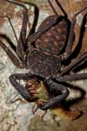 Tail-less whip scorpion - (Phrynus whitei) - Costa Rica