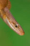 Tropical Rat Snake - (Senticolis triaspis) - Costa Rica