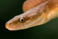 Tropical Rat Snake - (Senticolis triaspis) - Costa Rica