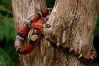 Tropical milksnake - (Lampropeltis triangulum) - Costa Rica