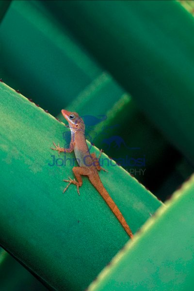 Watt\'s Anole (Anolis Wattsi) - Antigua - West Indies