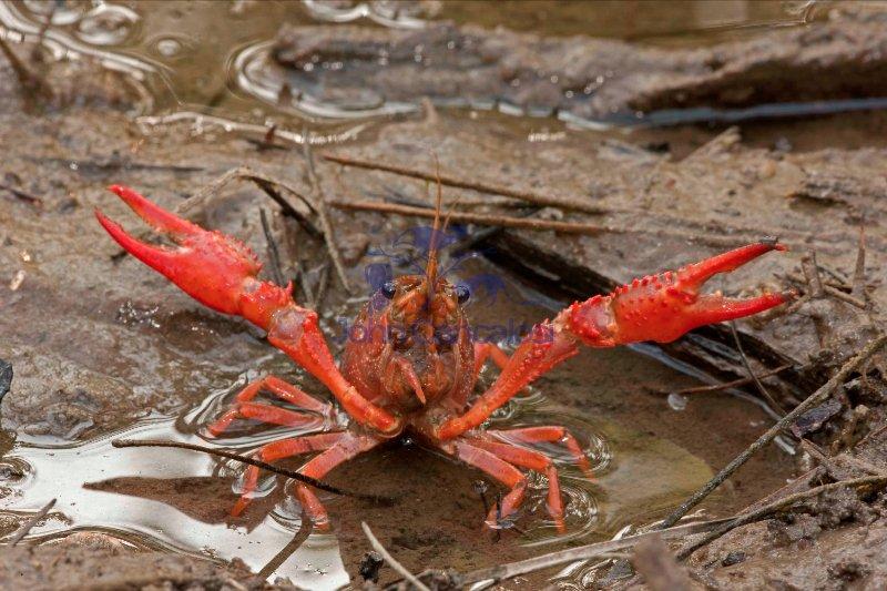 Red Swamp Crawfish(Crayfish) - Procambarus clarkii - Louisiana