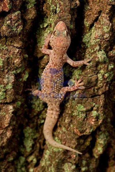 Mediterrranean Gecko - (Hemidadtylus turcicus) - Louisiana