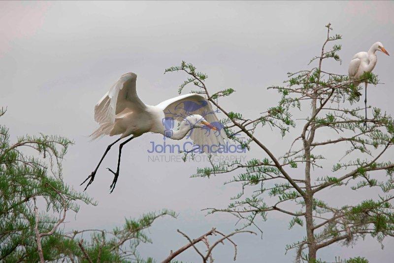 Great Egret (Casmerodius albus) , Louisiana , USA , in flight