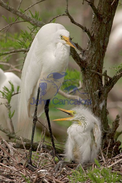 Great Egret (Casmerodius albus) Adult and Young - Louisiana