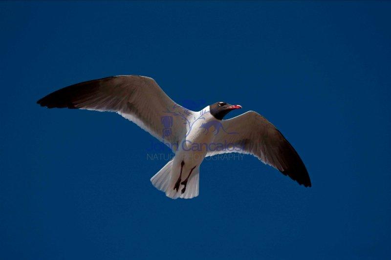Laughing Gull (Larus atricilla) - Adult in Breeding Plumage - Mi