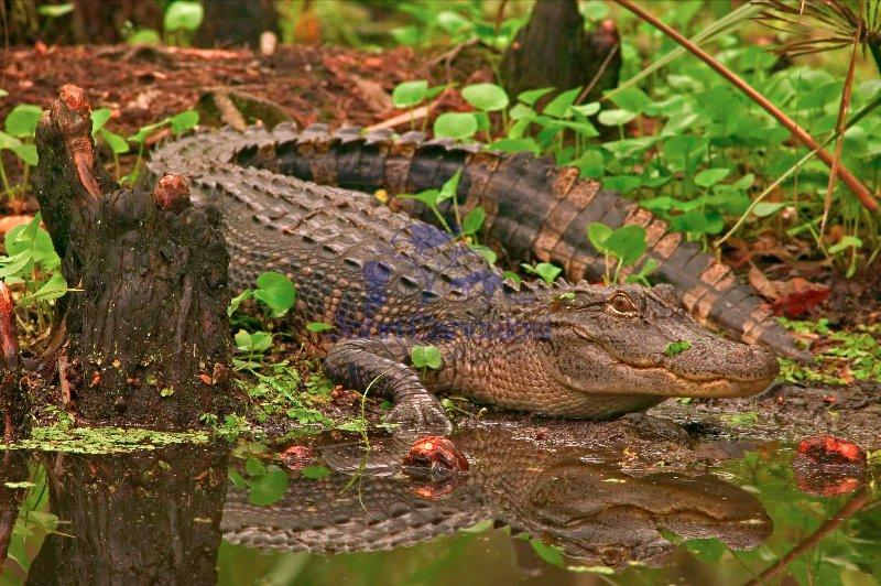 American Alligator (Alligator misssissippiensis) - Louisiana