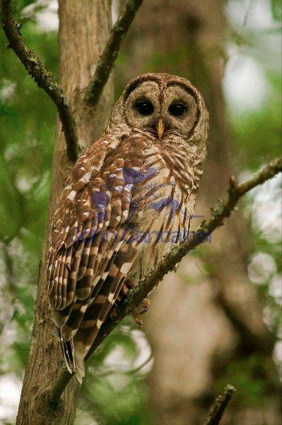 Barred Owl (strix varia)-Louisiana