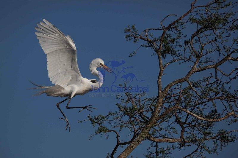 Great Egret (Casmerodius albus) - Landing on Tree - Louisiana