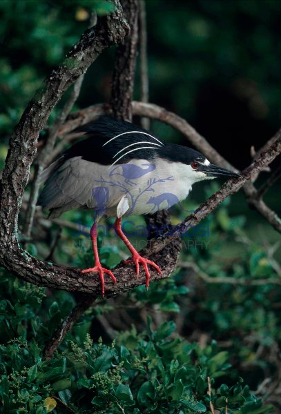 Black-crowned Night-Heron (Nycticorax nycticorax) - Louisiana