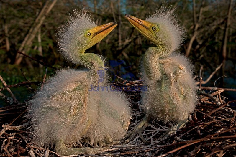 Great Egret Nestlings (Casmerodius albus) - Louisiana - USA