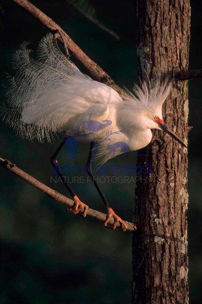 Snowy Egret (Egretta thula) - Louisiana