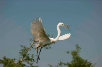 Great Egret (Casmerodius albus) - Louisiana - USA