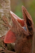 Green Anole (Anolis carolinensis) - Louisiana - USA