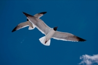 Laughing Gull (Larus atricilla) - Mississippi - USA
