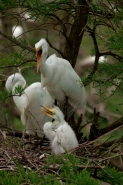 Great Egret (Casmerodius albus) - Adults and Young - Louisiana