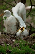 Great Egret (Casmerodius albus) - Adult and Young - Louisiana
