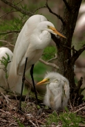 Great Egret (Casmerodius albus) Mother and Young - Louisiana