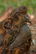 Alligator Snapping Turtle (Macroclemys  temmincki) - Louisiana U