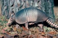Armadillo (Dasypus novemcinctus) - Louisiana