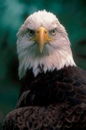 Bald Eagle (Haliaeetus leucocephalus)- Florida - USA