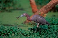 Little Blue Heron (Egretta caerulea) - Louisiana