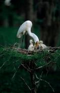 Great Egret (Casmerodius albus) - Louisiana