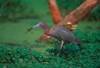 Little Blue Heron (Florida caerulea) - Louisiana