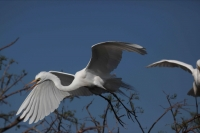Great Egret (Casmerodius albus) - In flight - Louisiana